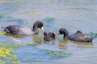 Red-gartered-Coot.jpg