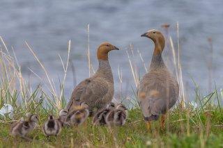Ruddy-headed-Goose.jpg