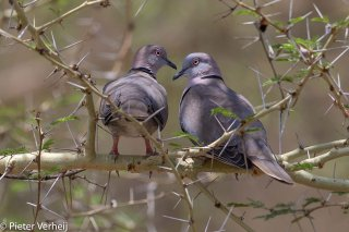 African-Mourning-Dove.jpg