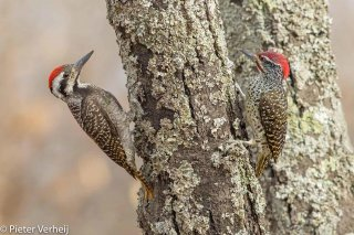 Bearded-Woodpecker--Nubian-Woodpecker.jpg