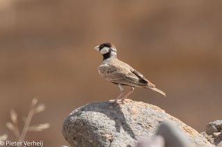 Black-crowned-Sparrow-Lark.jpg