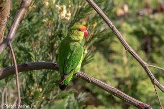 Black-winged-Lovebird.jpg