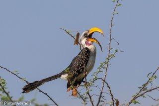 Eastern-Yellow-billed-Hornbill.jpg