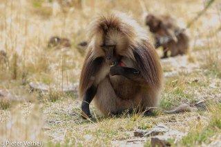 Gelada-Baboon-2.jpg