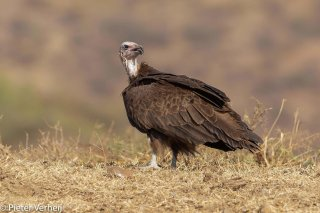 Hooded-Vulture.jpg