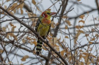 Red-and-yellow-Barbet.jpg