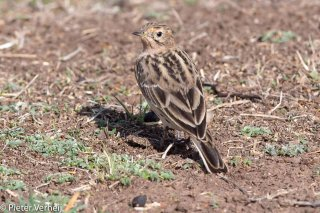 Red-throated-Pipit.jpg