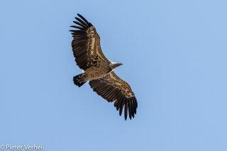 Ruppells-Vulture.jpg
