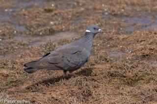 White-collared-Pigeon.jpg