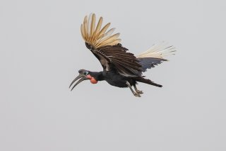 Abyssinian-Ground-Hornbill.jpg
