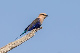 Blue-bellied-Roller.jpg