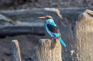 Blue-breasted-Kingfisher.jpg