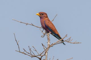 Broad-billed-Roller.jpg