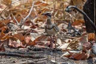 Bronze-winged-Courser.jpg