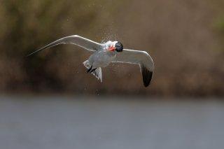 Caspian-Tern.jpg