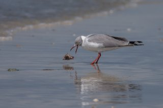 Grey-headed-Gull.jpg