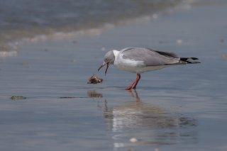 Grey-headed-Gull.jpg