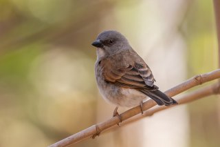 Grey-headed-Sparrow.jpg