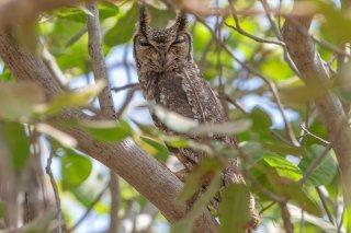 Greyish-Eagle-Owl.jpg