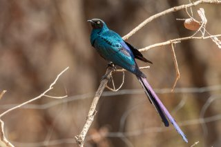 Long-tailed-Starling.jpg