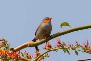 Orange-cheeked-Waxbill.jpg