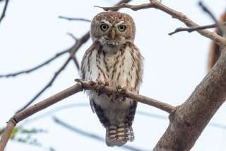 Pearl-spotted-Owlet.jpg