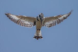 Pied-Kingfisher.jpg