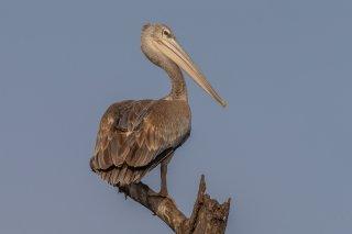 Pink-backed-Pelican.jpg