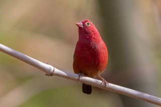 Red-billed-Firefinch.jpg