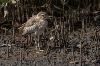 Senegal-Thick-knee.jpg