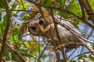 White-faced-Scops-Owl.jpg
