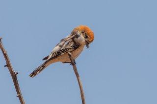 Woodchat-Shrike.jpg