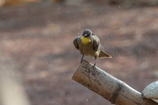 Yellow-throated-Leaflove.jpg