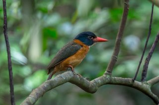 Black-headed-Kingfisher.jpg