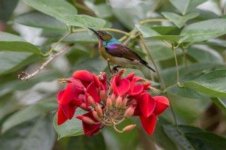 Brown-throated-Sunbird.jpg