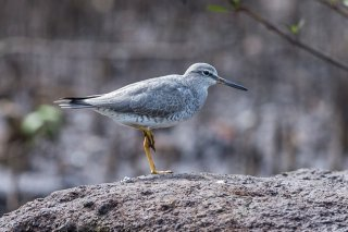 Grey-tailed-Tattler.jpg
