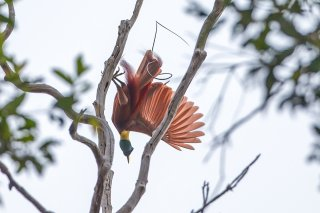 Red-Bird-of-Paradise.jpg