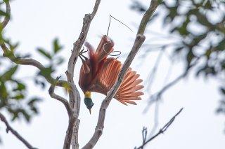Red-Bird-of-Paradise.jpg