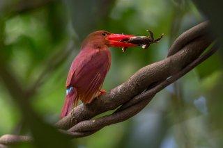 Ruddy-Kingfisher.jpg