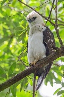 Sulawesi-Hawk-Eagle-(j).jpg