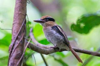 Sulawesi-Lilac-Kingfisher.jpg