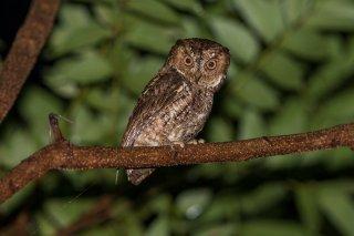 Sulawesi-Scops-Owl.jpg