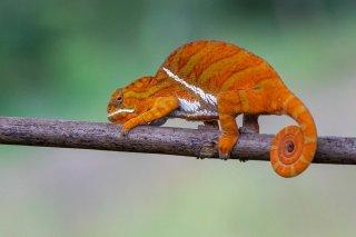 Belted_Chameleon.jpg