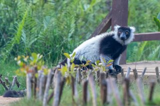 Black_and_White_Ruffed_Lemur.jpg