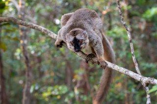 Brown_Lemur.jpg