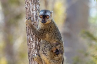 Common_Brown_Lemur1.jpg
