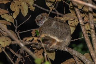 Eastern_Woolly_Lemur.jpg
