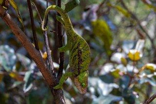 Globe-horned_Chameleon.jpg