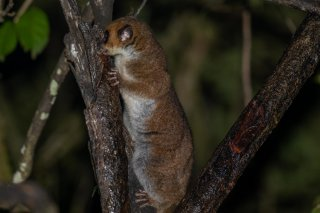 Greater_Dwarf_Lemur.jpg