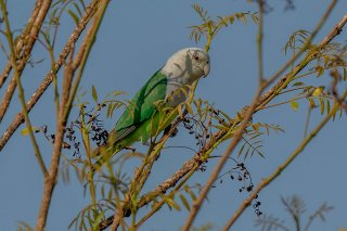 Grey-headed_Lovebird.jpg